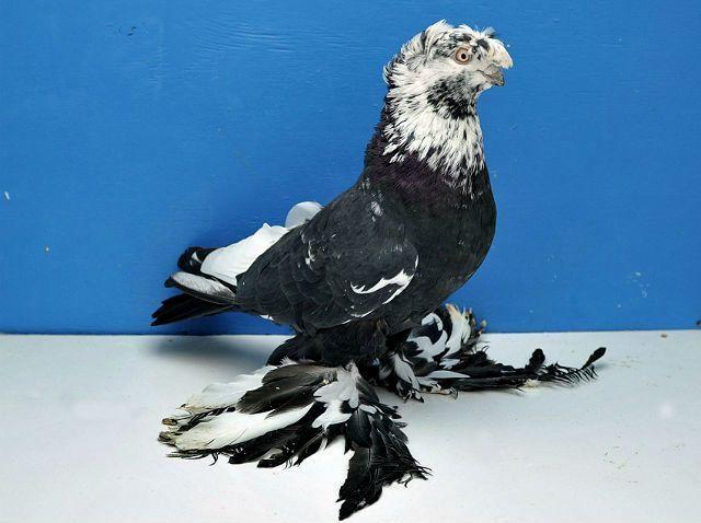 Узбекские голуби - главное фото