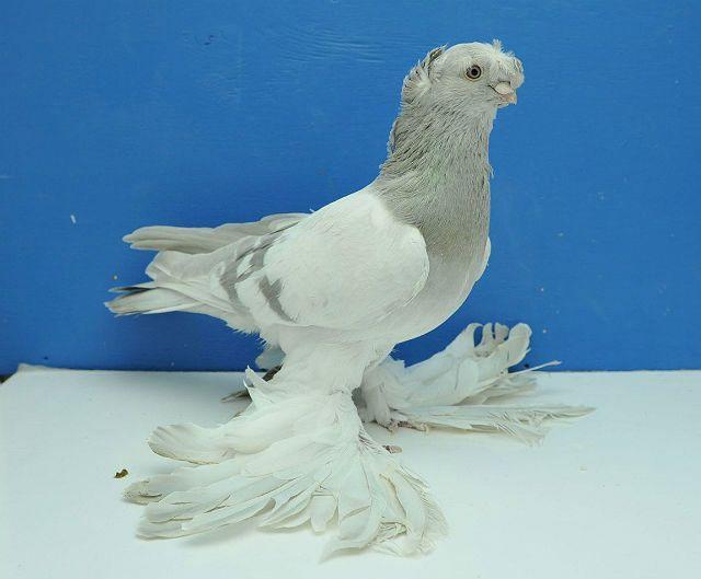 Узбекские голуби - внешний вид