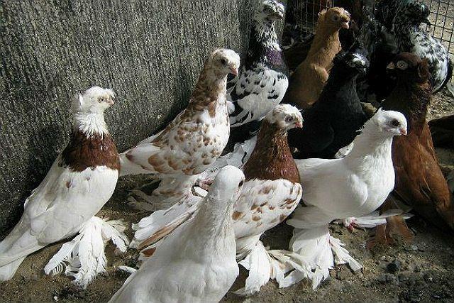 Узбекские голуби - разведение