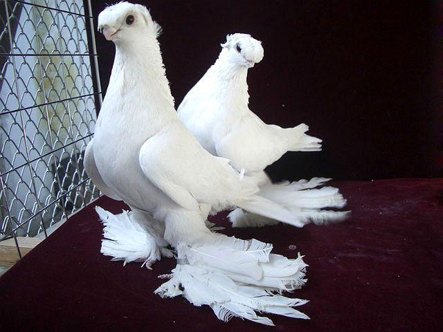 Узбекские голуби - белые