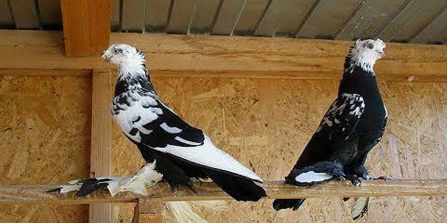 Узбекские голуби - условия содержания
