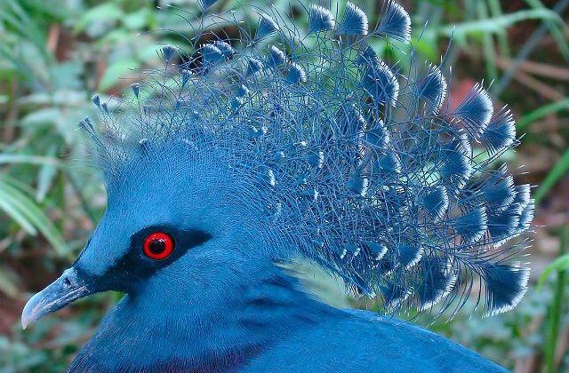 Голубь венценосный - голова