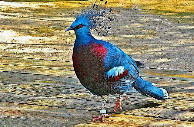 Голубь венценосный - экстерьер