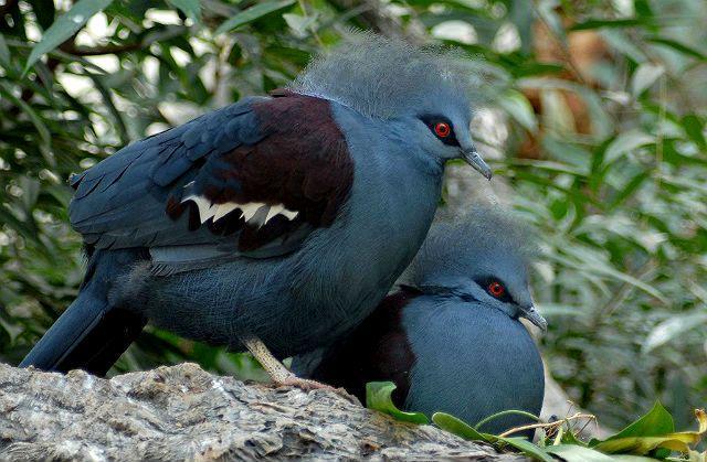 Голубь венценосный - размножение