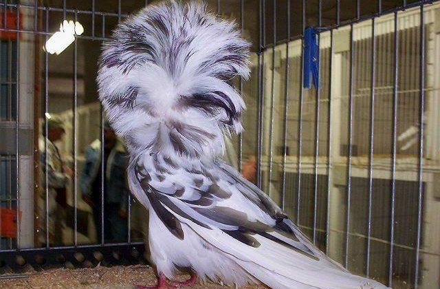 Якобин черно-белый