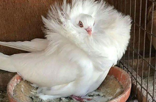 Голубь якобин с белым воротником