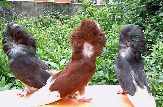 Три голубя якобина