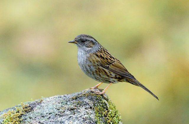 Птица завирушка на камне
