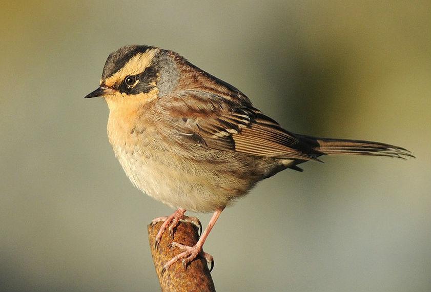 Птица завирушка - как поет