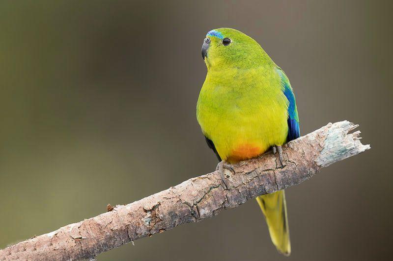 Золотобрюхий травяной попугай