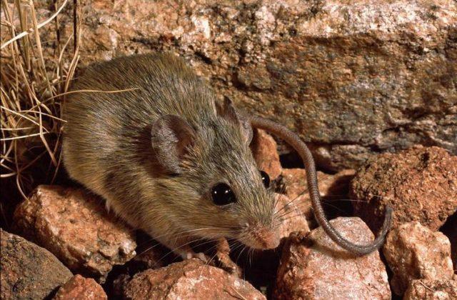 Акациевые крысы (1)