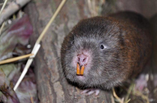 Бамбуковая крыса (1)