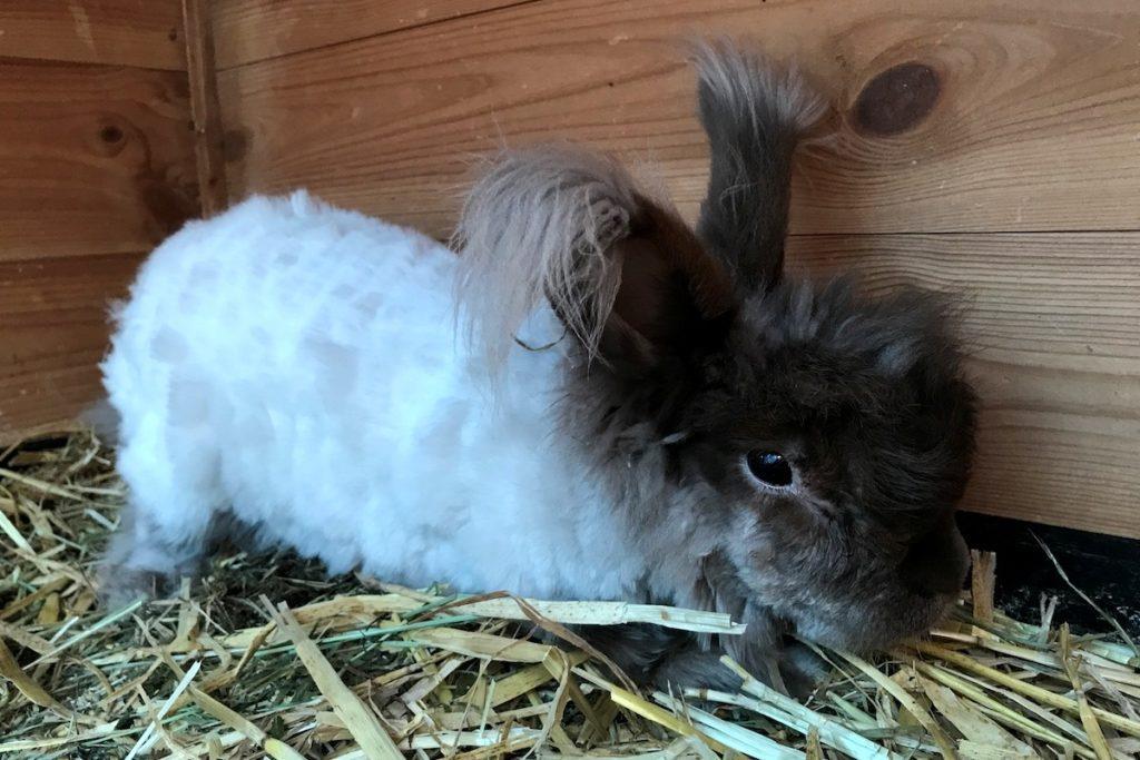 Бешенство у кролика - финальная стадия