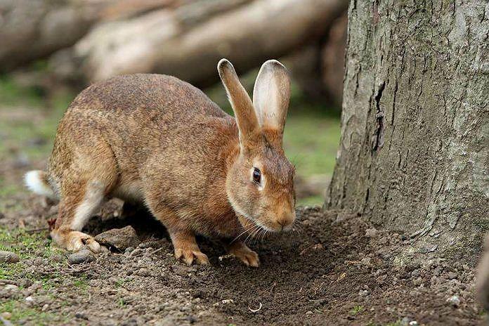 Бешенство у кроликов - признаки