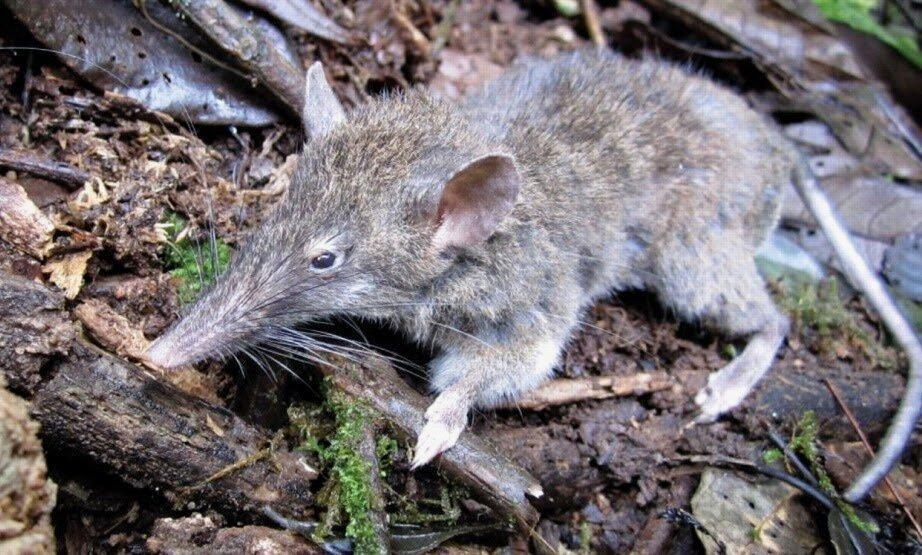 Крыса без зубов