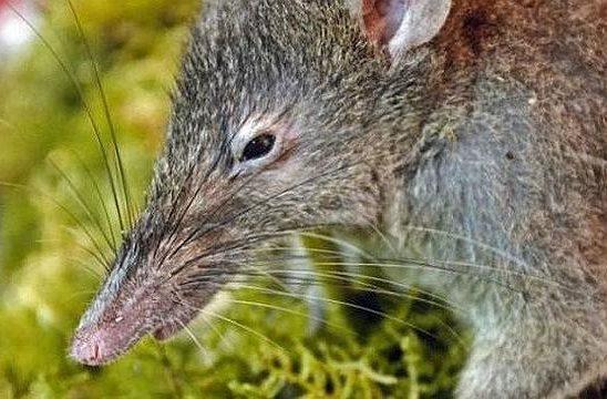 Беззубая крыса (2)