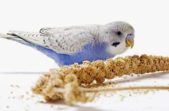 чумиза для попугаев - главное фото