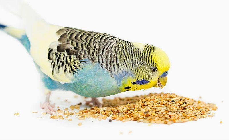 Чумиза - просо для попугаев