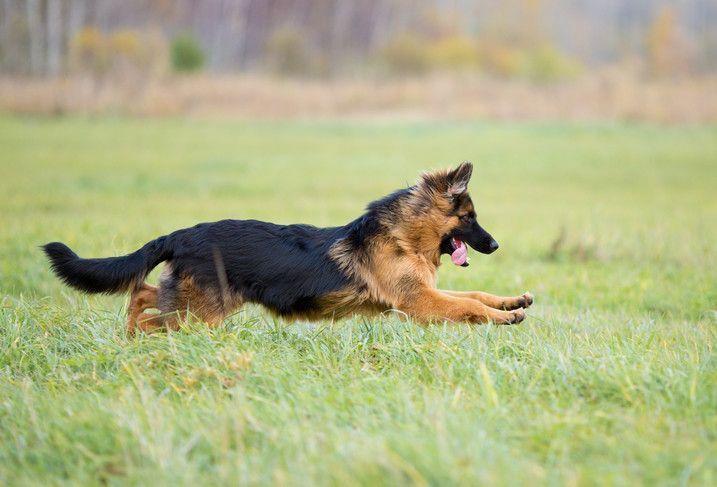 Длинношерстная немецкая овчарка бежит