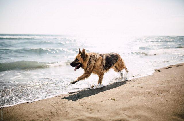 Длинношерстная немецкая овчарка бежит по берегу