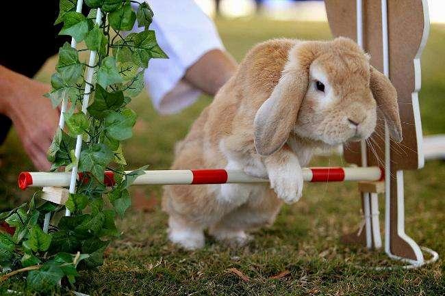 Дрессировка кролика - препятствие