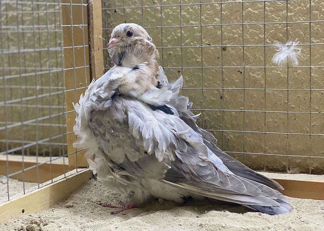 Голубь китайская чайка