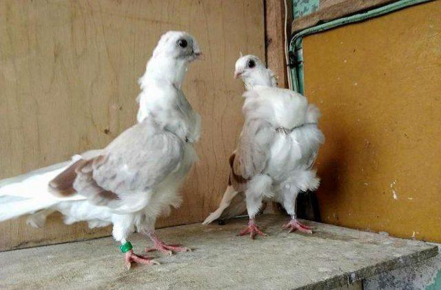 Чайки китайские - голуби