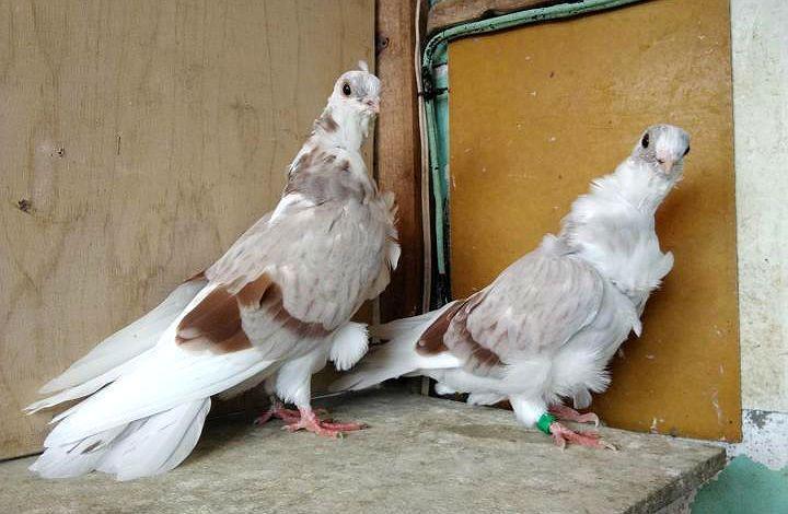 Голуби чайки - содержание