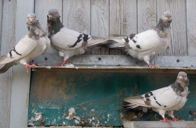 Голуби чайки