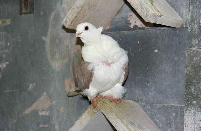 Белый голубь чайка