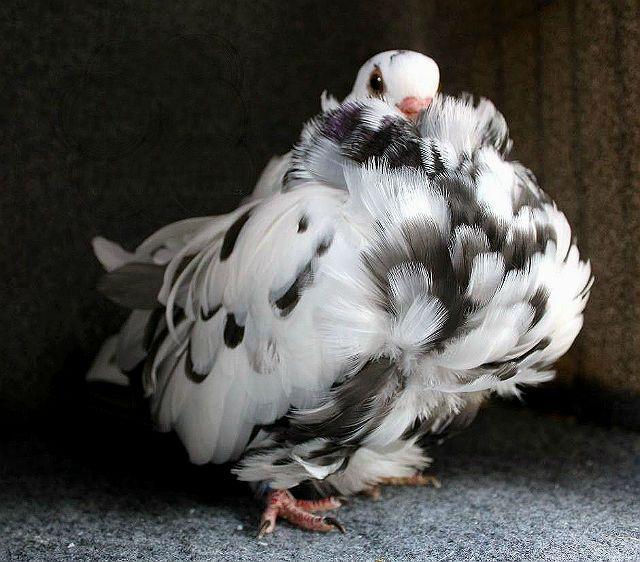 Голуби чайки - внешний вид