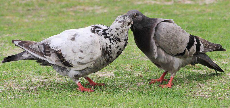 Голуби самка и самец