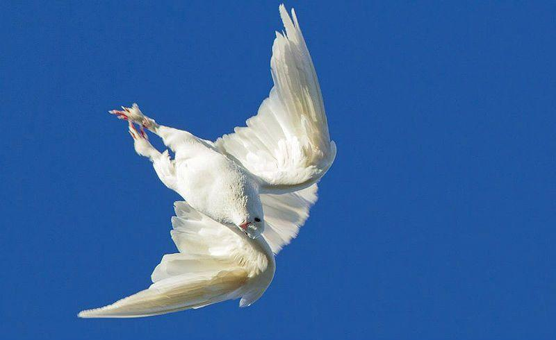 Голуби турманы - перевертыши