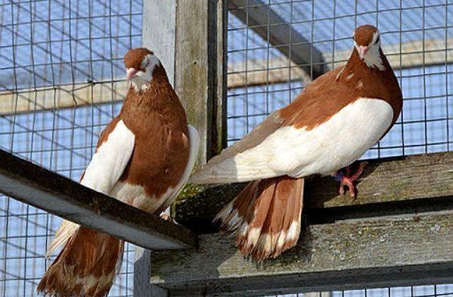 Голуби турманы в голубятне