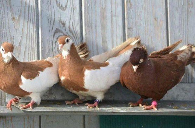 Высоколетные голуби турманы