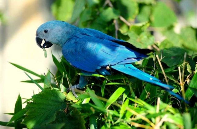 Голубой попугай ара