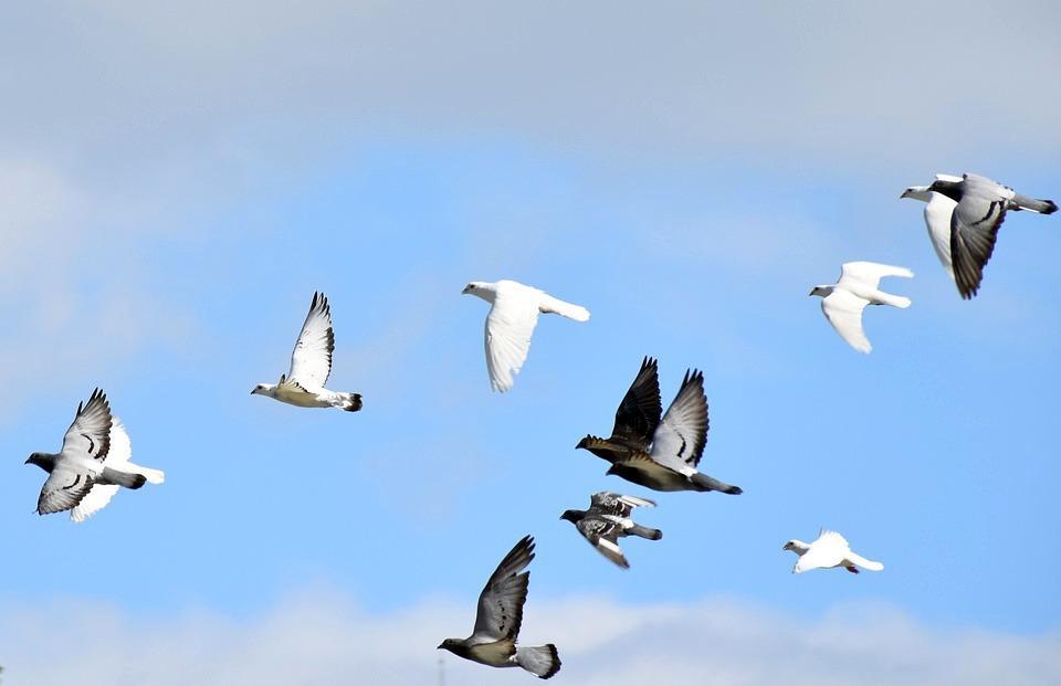 Стая летящих голубей