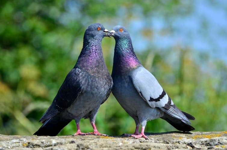 Способности голубей