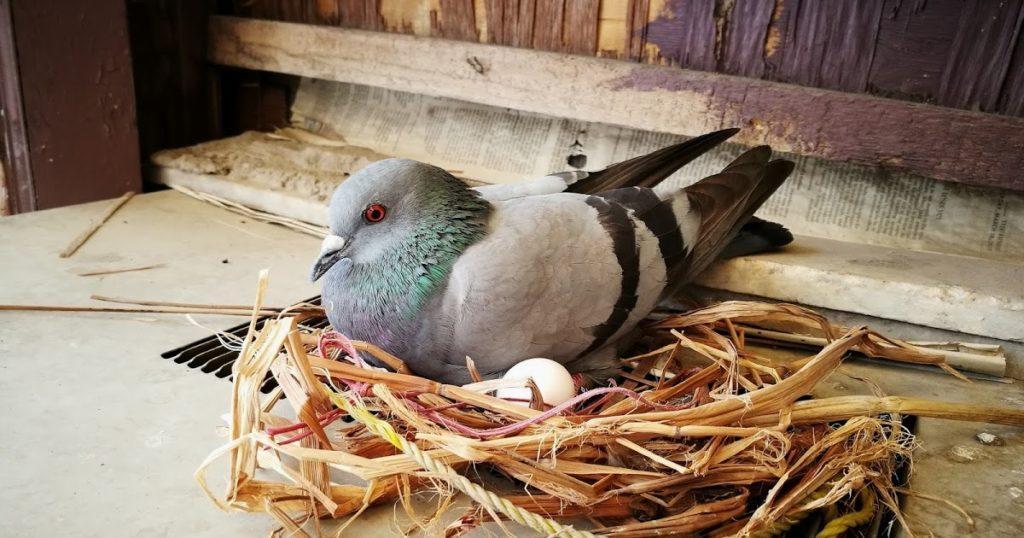 Размножение голубей - гнездо