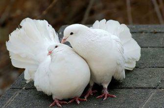 Как определить самца голубя и самку