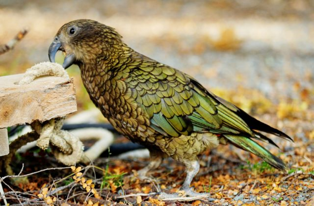 Кеа попугай (1)