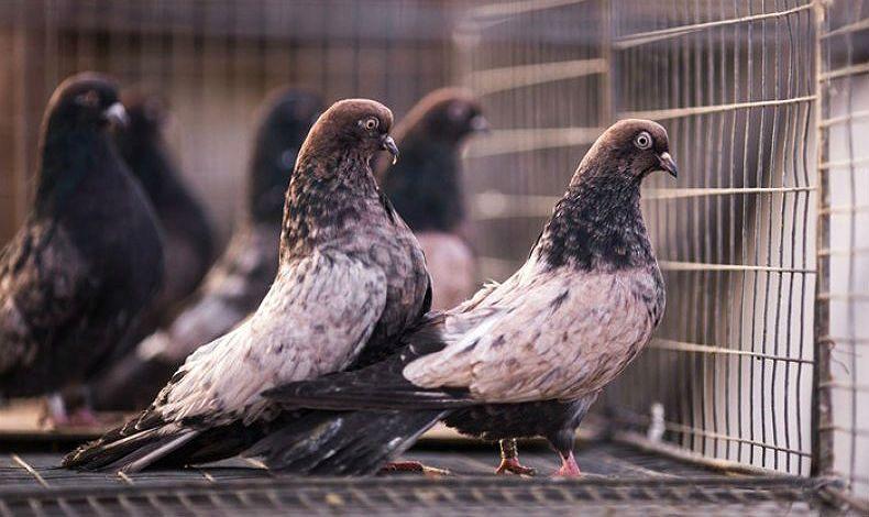 Кировоградские голуби - экстерьер