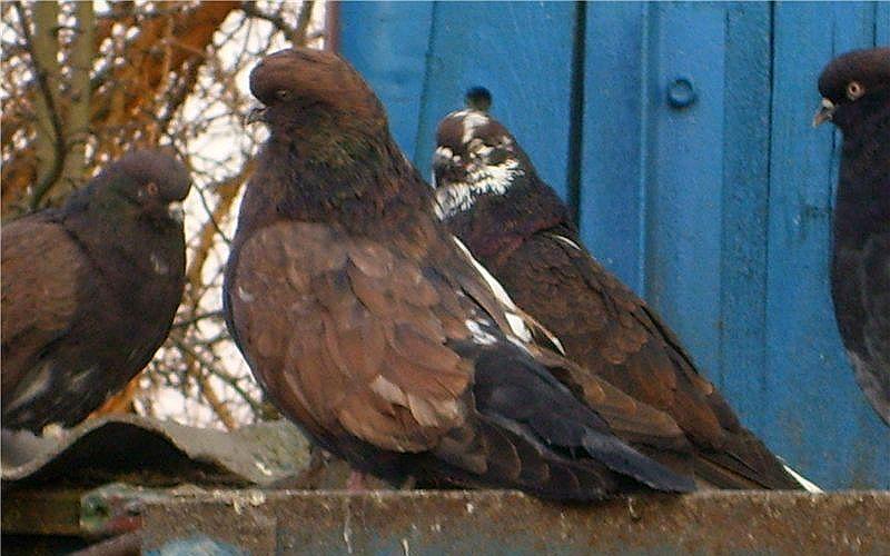 Кировоградские голуби - содержание