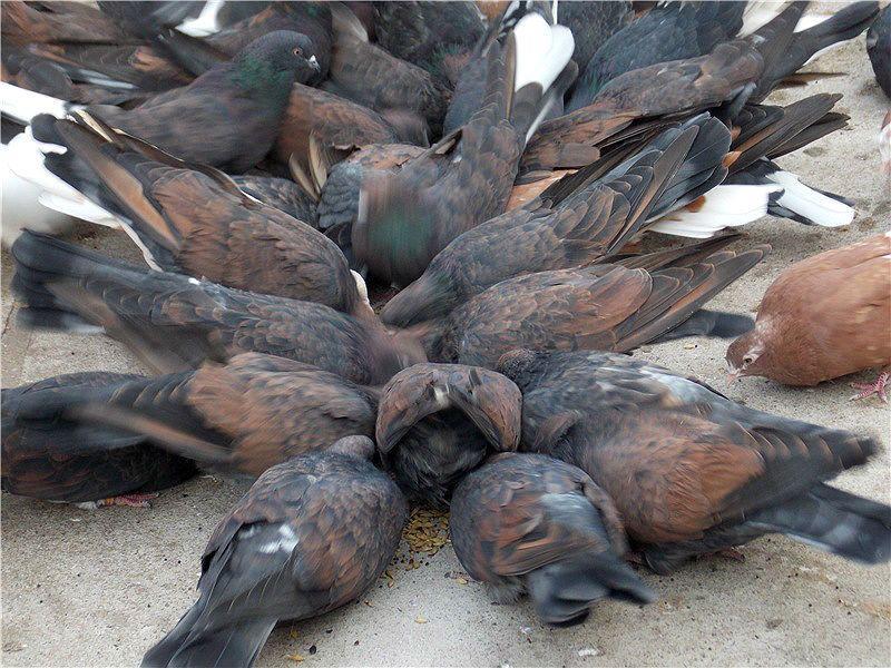 Кировоградские голуби - кормление