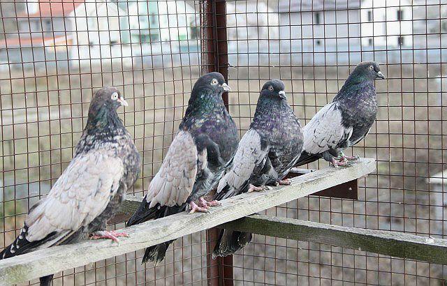 Кировоградские голуби - главное фото