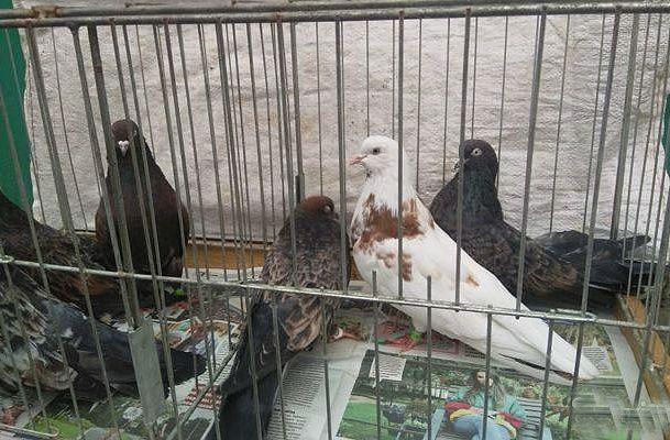 Кировоградский голубь (2)