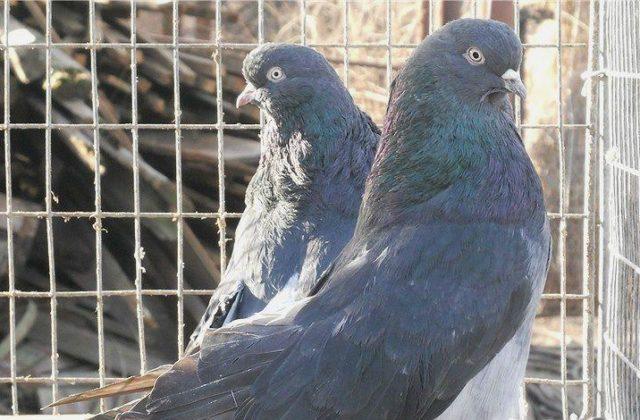 Кировоградский голубь (3)