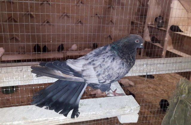 Кировоградский голубь (4)