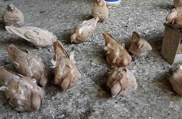 Китайские чайки - порода голубей