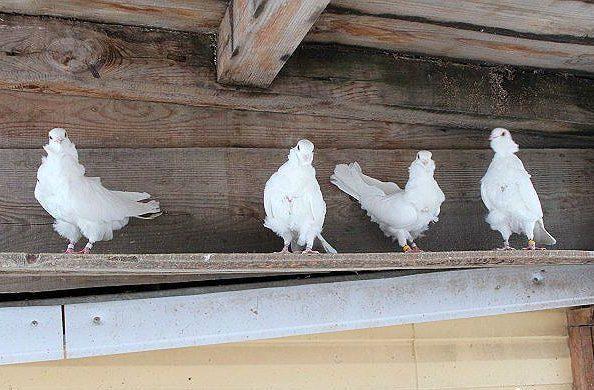 Китайские чайки на насесте